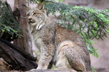 Lynx © INPN - Libre de droit