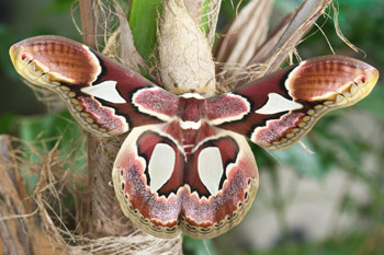 Rothschildia erycina  © INPN - S. Brûlé