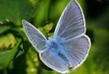 Papillon Polyommatus icarus  © INPN - Renaud Puissauve