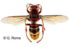 vespa velutina frelon pattes jaunes frelon asiatique signalement 1 3. Black Bedroom Furniture Sets. Home Design Ideas