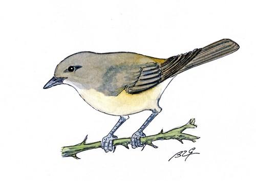 Le chant des oiseaux moinillon au quotidien - Chant fauvette des jardins ...