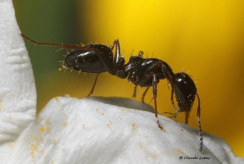 Camponotus piceus