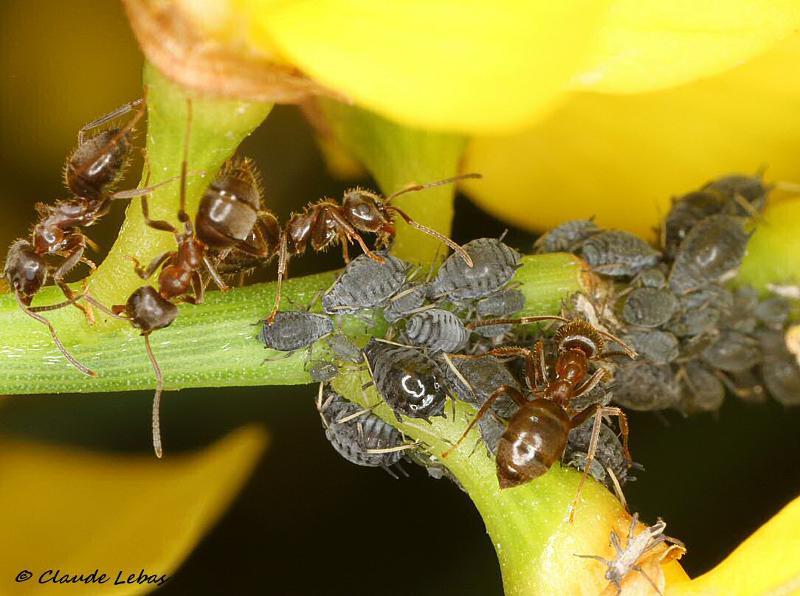 Lasius cinereus