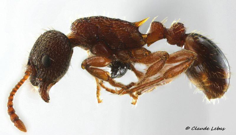 Myrmica wesmaeli