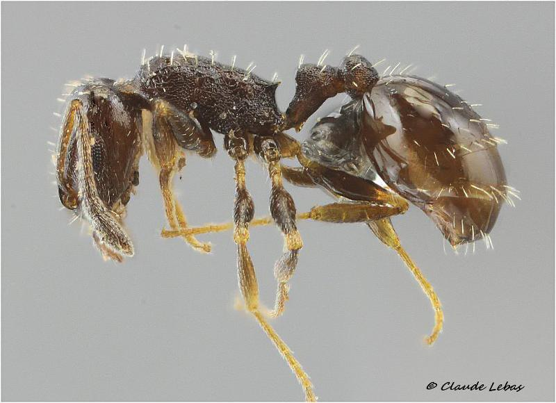 Temnothorax niger