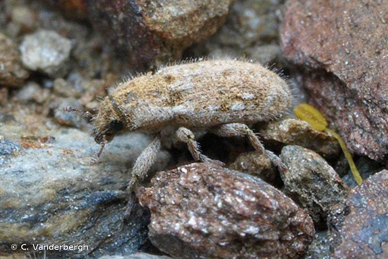 Microlarinus lareynii