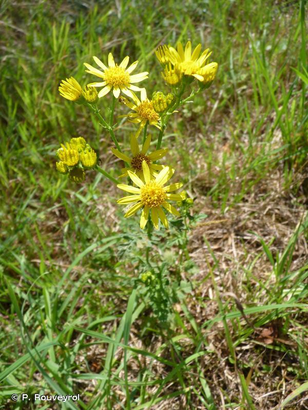 Jacobaea vulgaris