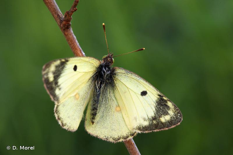 Colias hyale