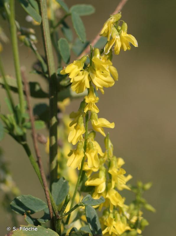 Trigonella officinalis