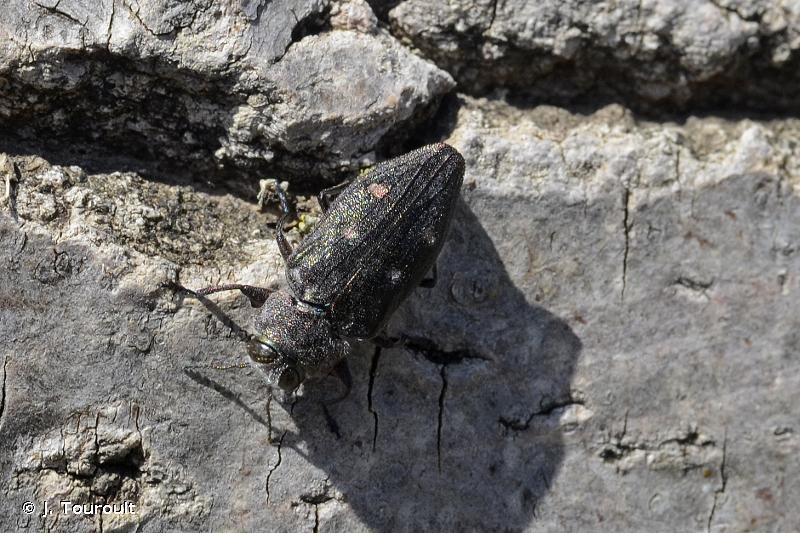 Chrysobothris affinis