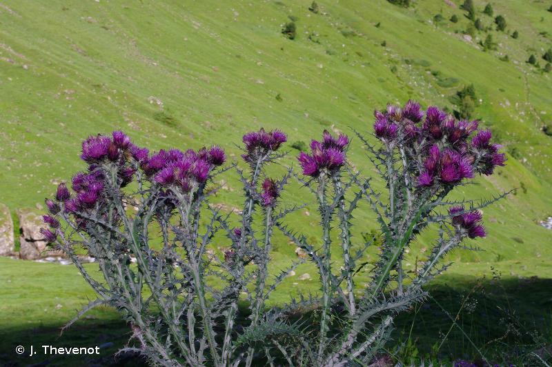 Carduus carlinoides