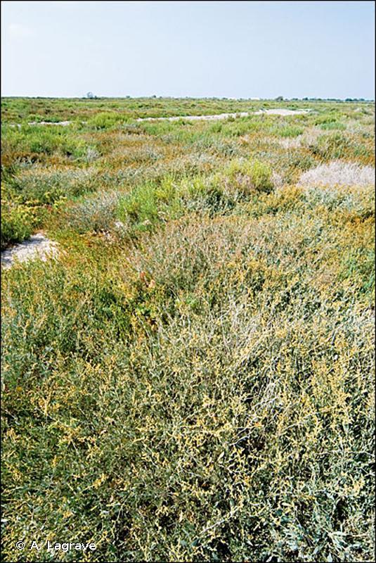 1420 - Fourrés halophiles méditerranéens et thermo-atlantiques (<em>Sarcocornietea fruticosi</em>) - Habitats d'intérêt communautaire