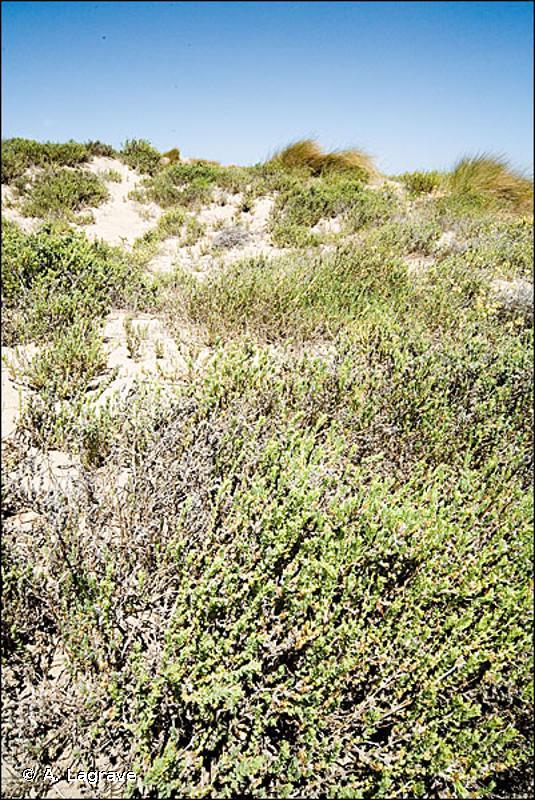 2210-1 - Dunes fixées du littoral méditerranéen du <em>Crucianellion maritimae</em> - Cahiers d'habitats