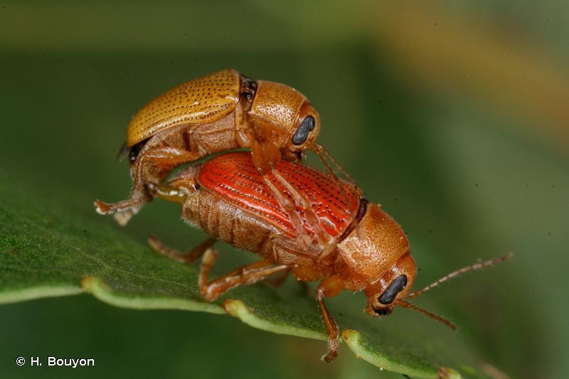 Cryptocephalus sulphureus