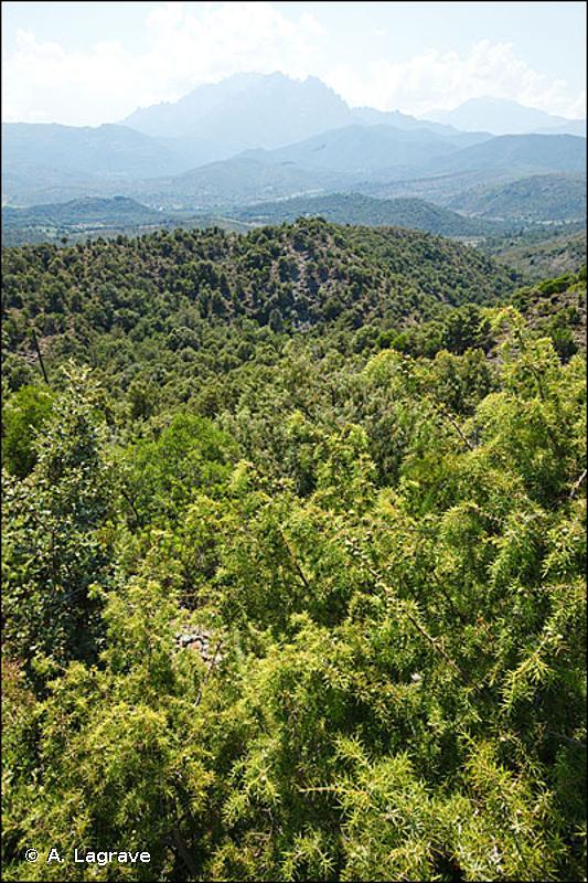 32.131 - Matorral arborescent à Juniperus oxycedrus - CORINE biotopes
