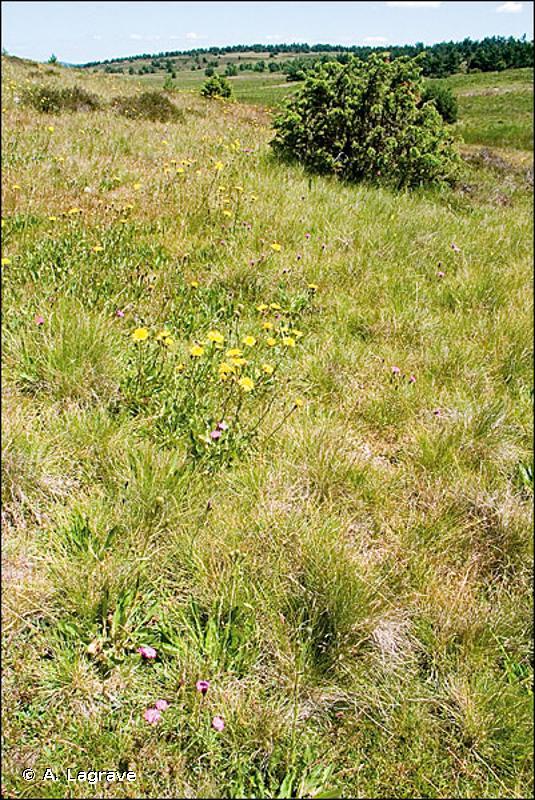 6230 - Formations herbeuses à <em>Nardus</em>, riches en espèces, sur substrats siliceux des zones montagnardes (et des zones submontagnardes de l'Europe continentale) - Habitats d'intérêt communautaire