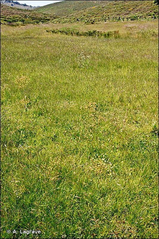 36.31 - Gazons à Nard raide et groupements apparentés - CORINE biotopes