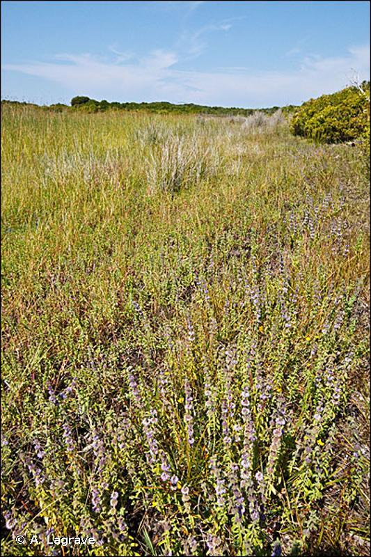 37.24 - Prairies à Agropyre et Rumex - CORINE biotopes