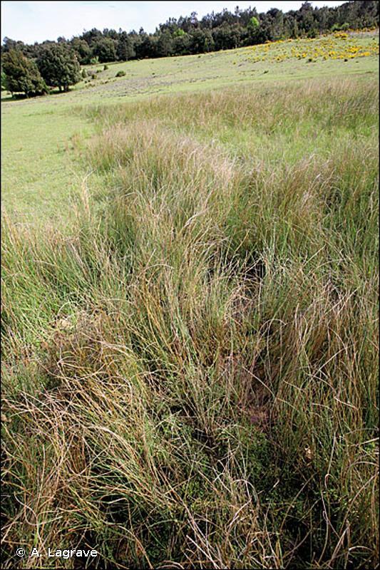 6420 - Prairies humides méditerranéennes à grandes herbes du <em>Molinio-Holoschoenion</em> - Habitats d'intérêt communautaire