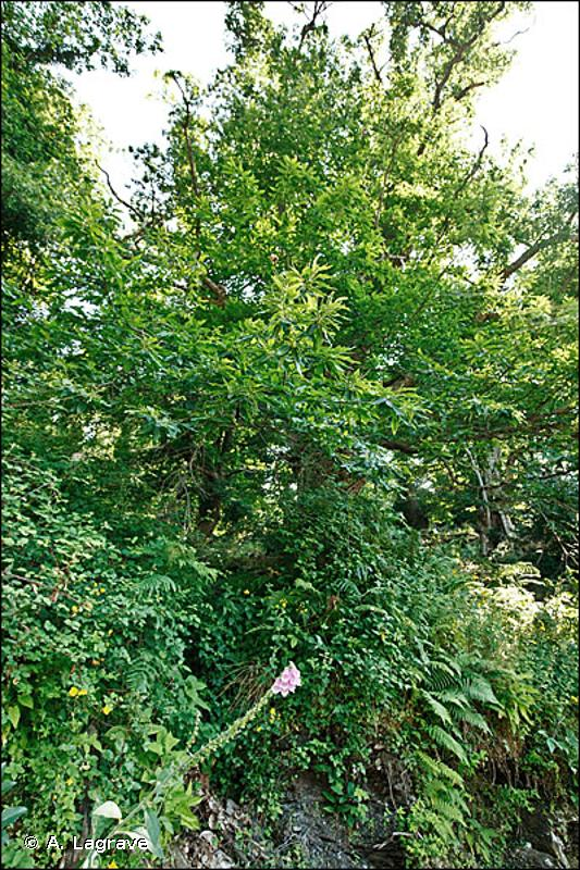 41.9 - Bois de Châtaigniers - CORINE biotopes