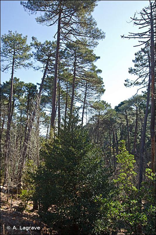 42.641 - Forêts denses montagnardes de Pin laricio - CORINE biotopes