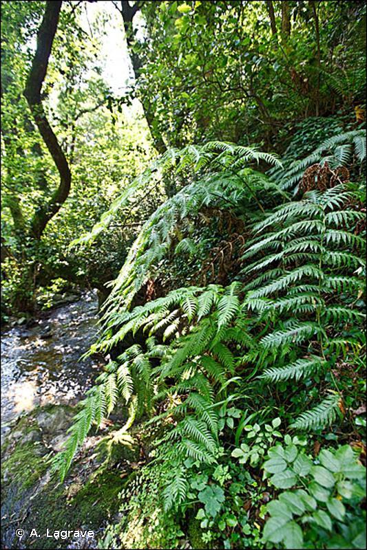 92A0-4 - Aulnaies à Aulne glutineux et Aulne à feuilles cordées de Corse - Cahiers d'habitats