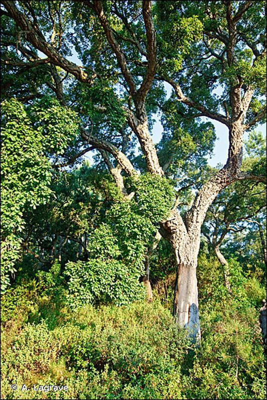 45 - Forêts sempervirentes non résineuses - CORINE biotopes