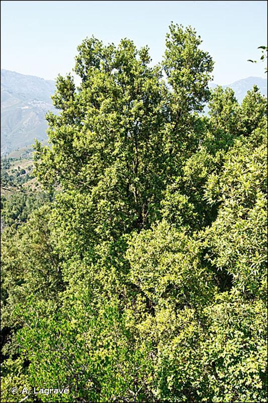 45.32 - Forêts de Chênes verts supra-méditerranéennes - CORINE biotopes
