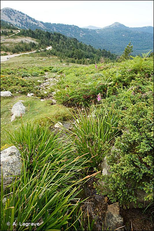 53.21 - Peuplements de grandes Laîches (Magnocariçaies) - CORINE biotopes
