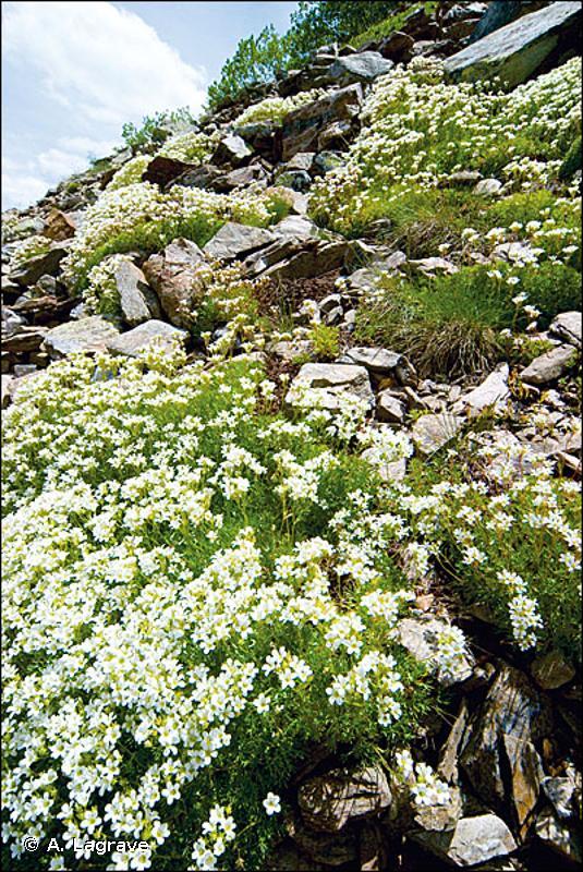 8110 - Éboulis siliceux de l'étage montagnard à nival (<em>Androsacetalia alpinae</em> et <em>Galeopsietalia ladani</em>) - Habitats d'intérêt communautaire
