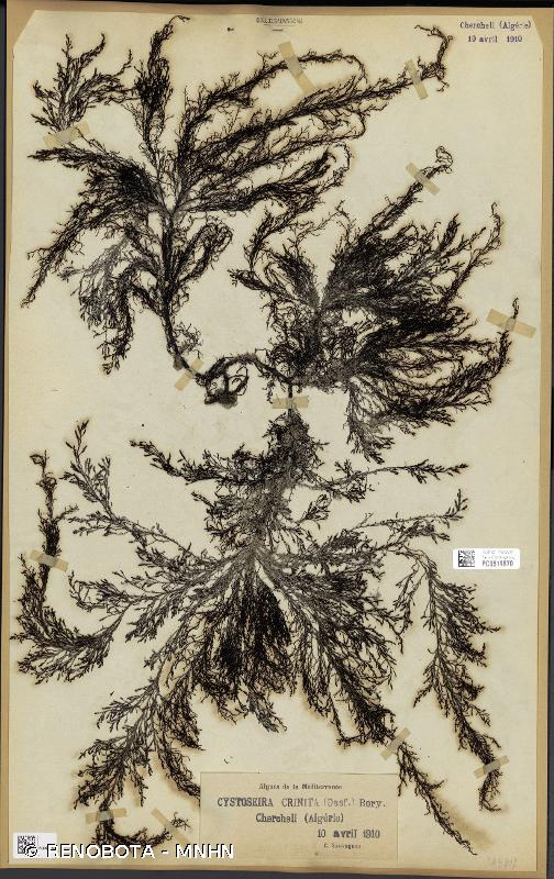 Cystoseira crinita