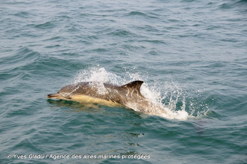 Delphinus delphis