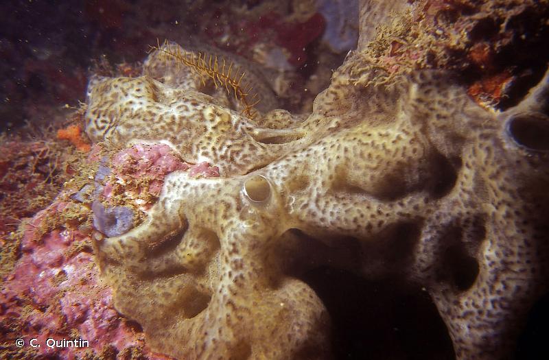 Didemnum coriaceum