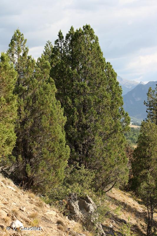 9560 et 5210 - Forêts endémiques à Juniperus spp. (9560*) ou Mattorals arborescents à Juniperus spp. (5210) (Peuplements de Genévrier thurifère) - Cahiers d'habitats