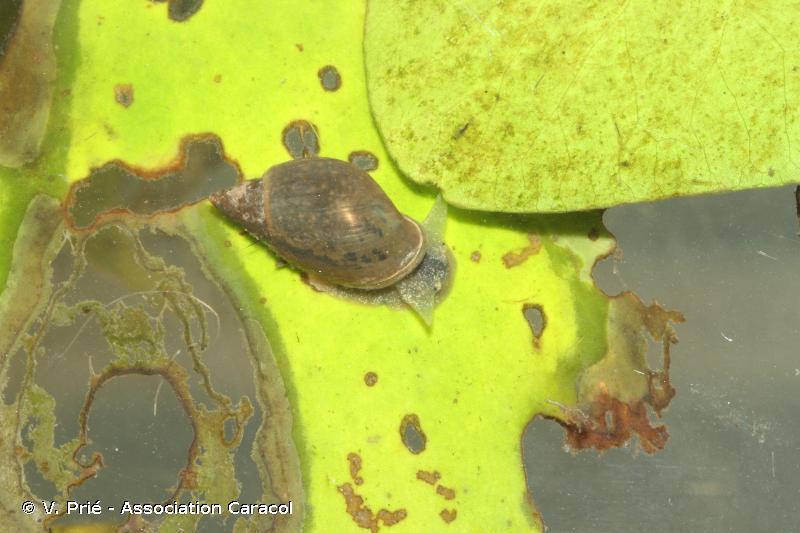 Stagnicola fuscus
