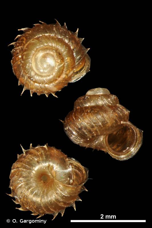 Acanthinula aculeata