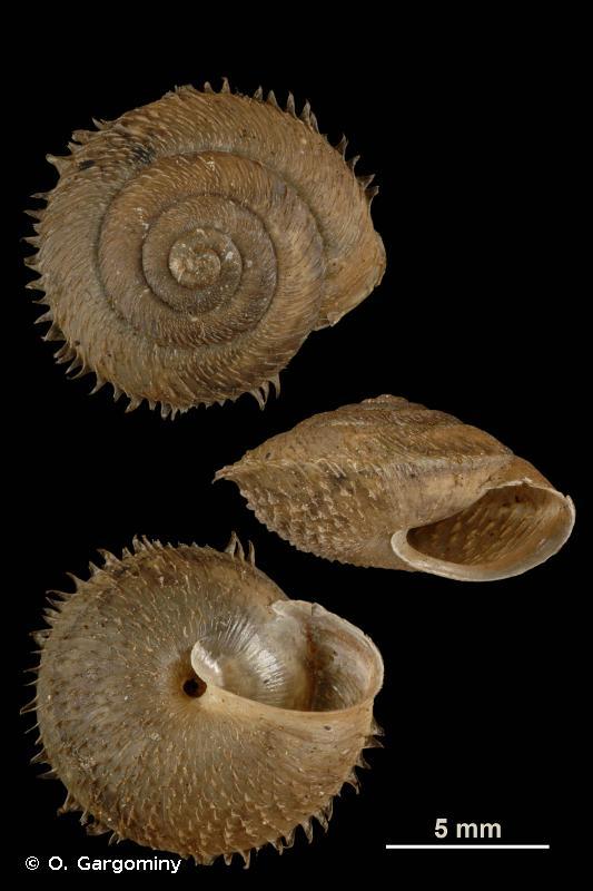 Ciliella ciliata