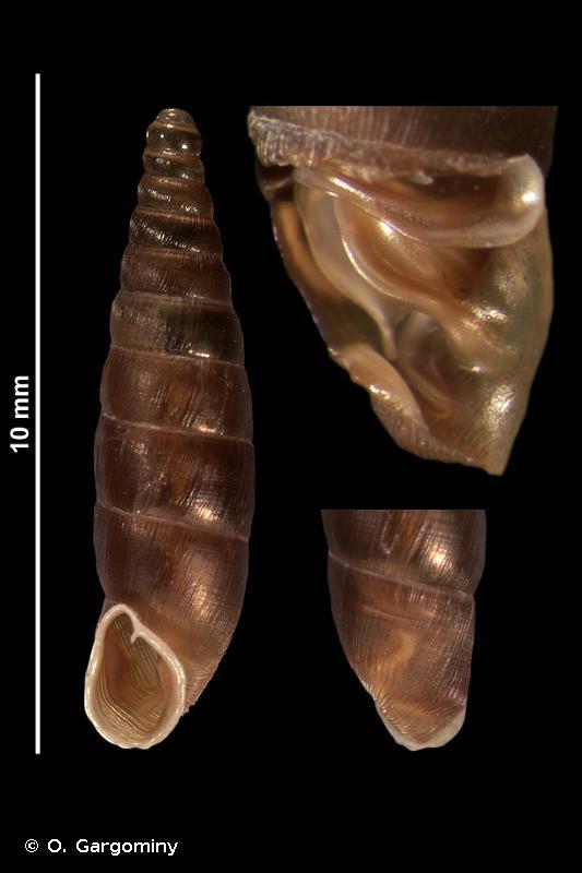 Clausilia rugosa parvula
