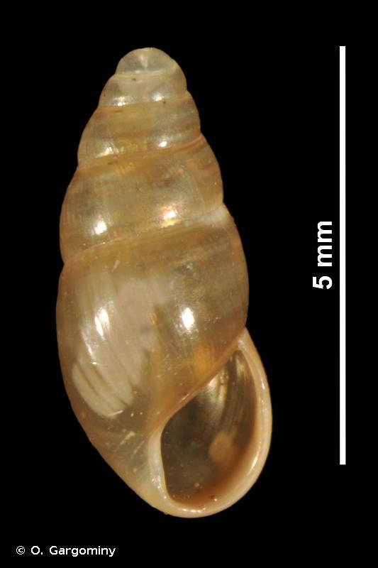 Cochlicopa lubricella