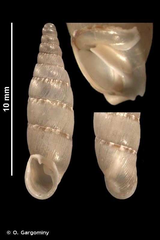 Papillifera papillaris