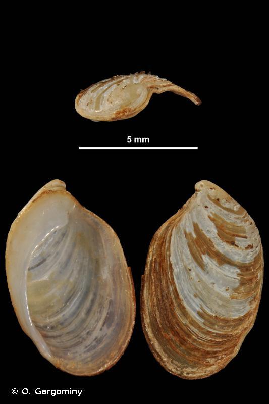 Testacella bisulcata