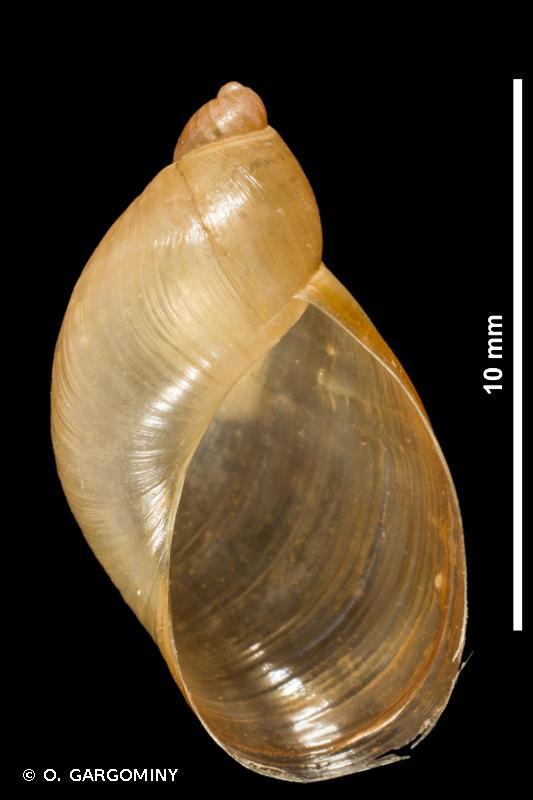Oxyloma elegans elegans