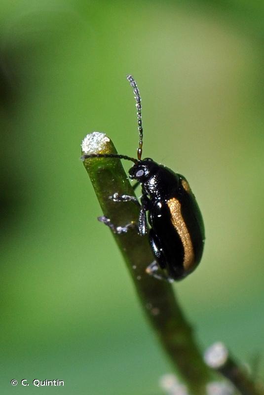 Phyllotreta nemorum