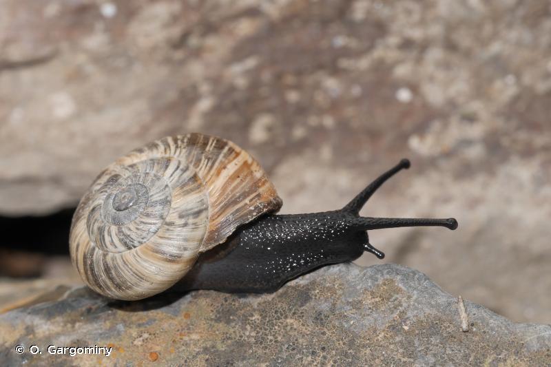 Pyrenaearia carascalensis carascalensis