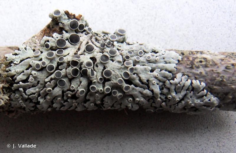 Physcia aipolia