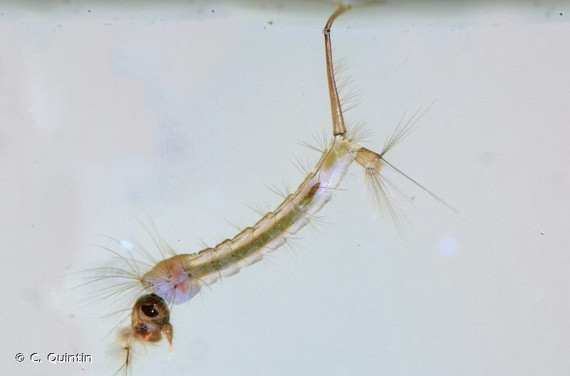 Culex hortensis