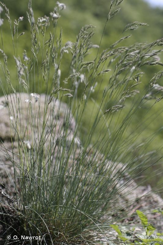 Festuca arvernensis