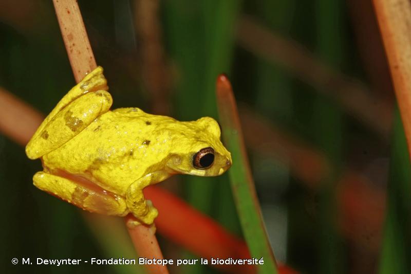 Dendropsophus gaucheri