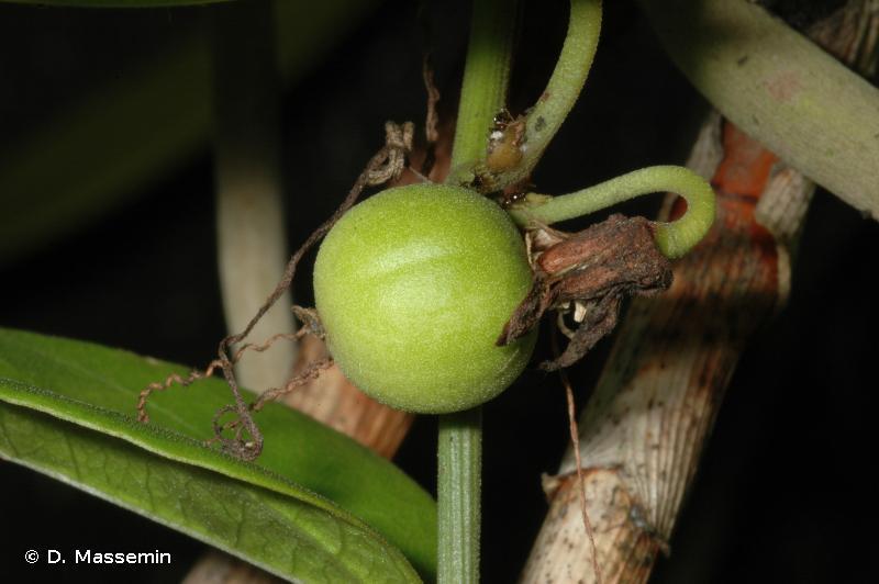 Passiflora auriculata