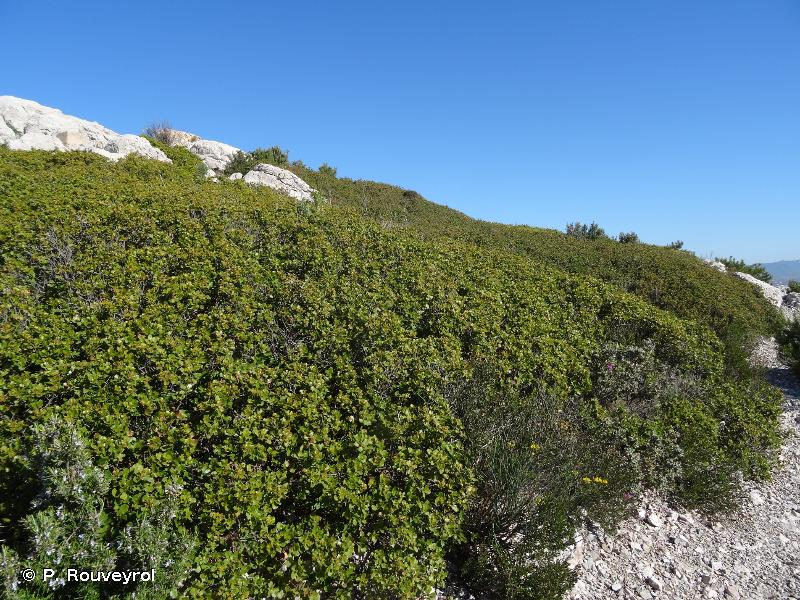 32.219 - Buissons thermo-méditerranéens à Chênes kermès - CORINE biotopes